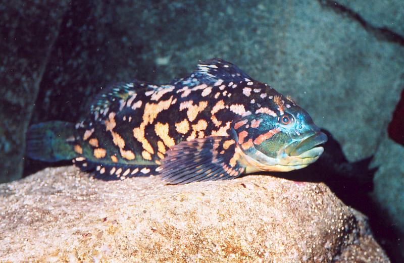 Rock Greenling, Hexagrammos lagocephalus