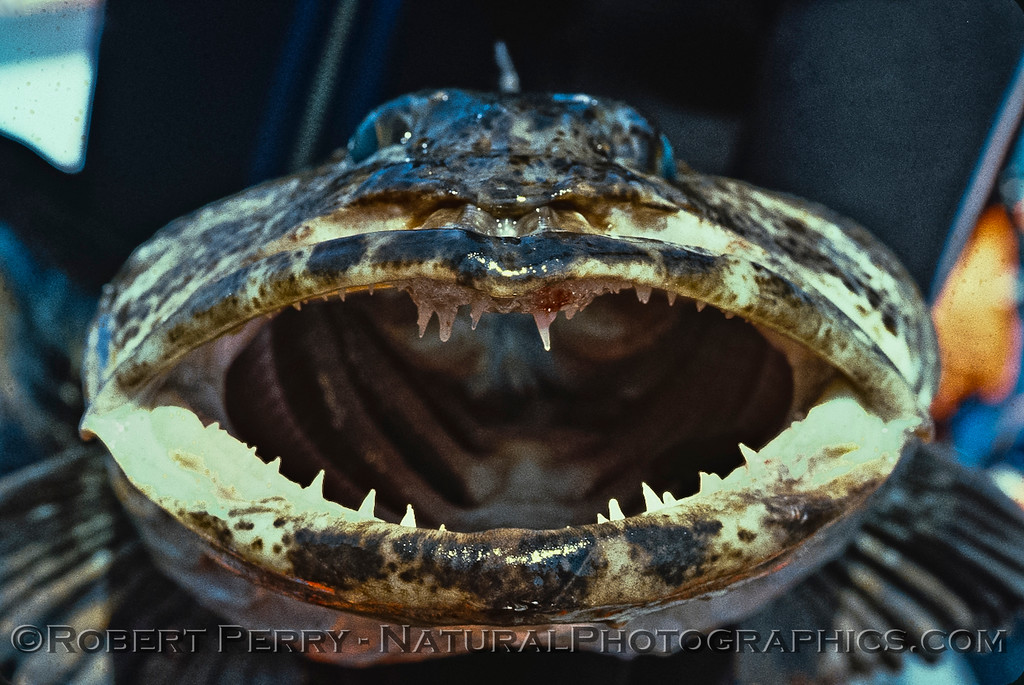 Ophiodon elongatus open mouth-1980-05