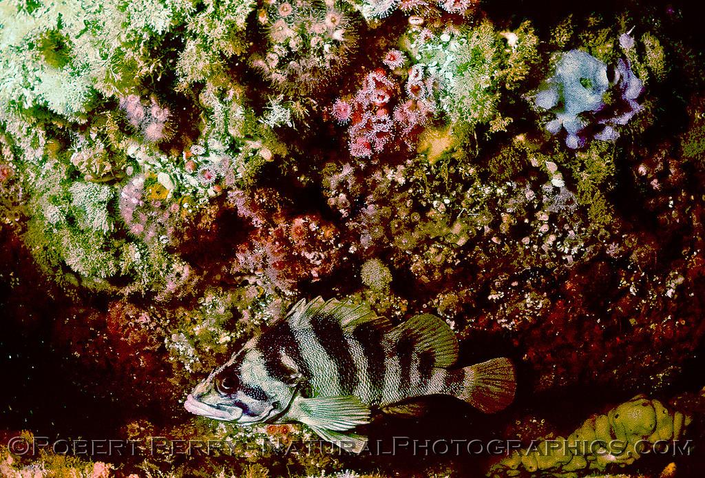 Sebastes serriceps-Log 695-1980-06-Santa Cruz Island