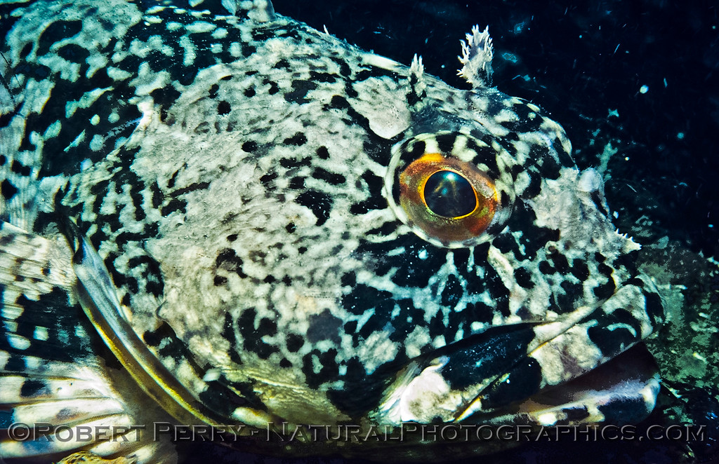 Scorpaenichthys marmoratus-CLOSE-eyeball-1977-10