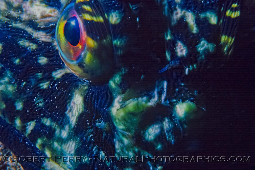 Scorpaenichthys marmoratus-CLOSE-eyeball-Log-990-1983-09-04-Malibu County Line-001