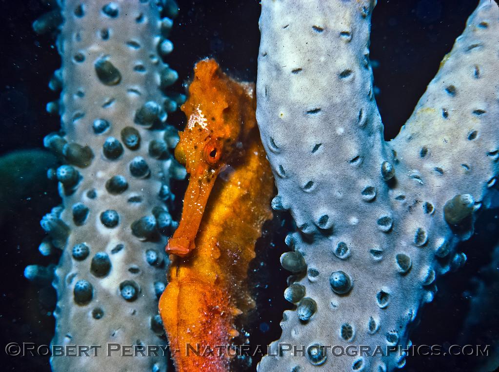Hippocampus reidi - Log 1146 - 1985-08- Bonaire - 003