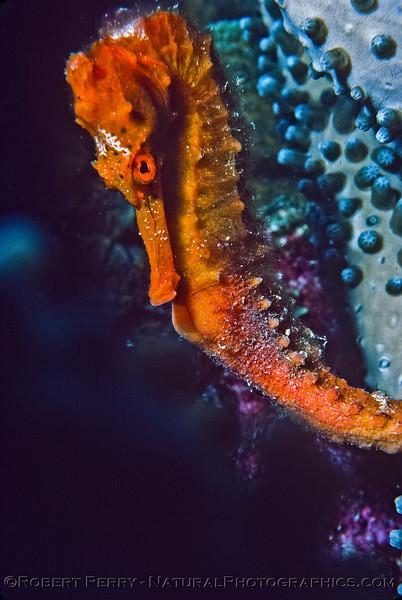 Hippocampus reidi - Log 1146 - 1985-08- Bonaire - 002