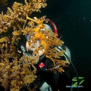 Leafy Seadragon, Phycodurus eques