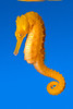 seahorse, Hippocampus sp, raised in captivity at Ocean Rider for the aquarium trade to offset devastating wild caught seahorse trade (c) (dm)