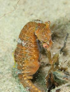 Highcrown Seahorse Hippocampus procerus