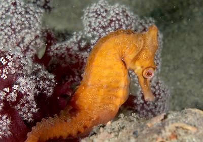 White's seahorse Hippocampus whitei
