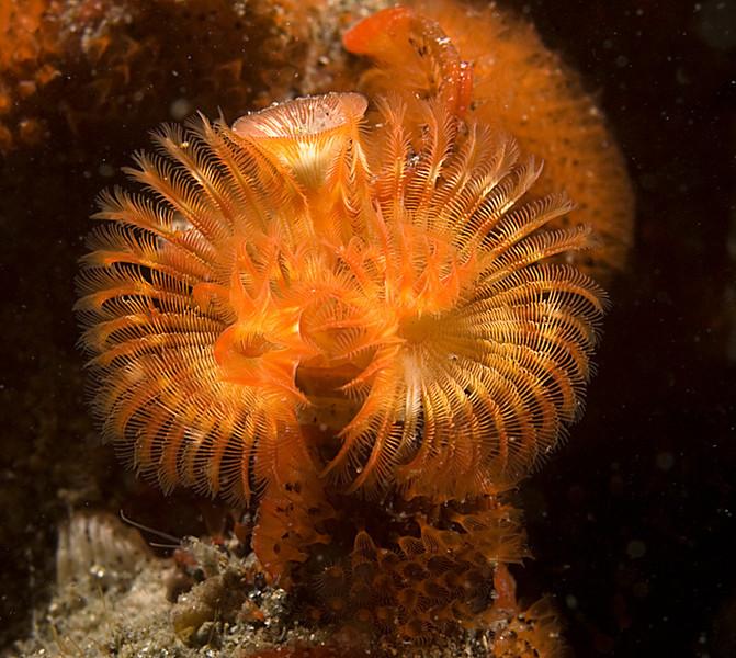 Serpulid Worm (Serpula vermicularis)