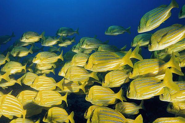 school of panamic porkfish, Anisotrmus taeniatus,<br /> Cabo Pulmo, Gulf of California, Baja, Mexico<br /> ( Sea of Cortez )<br /> 1