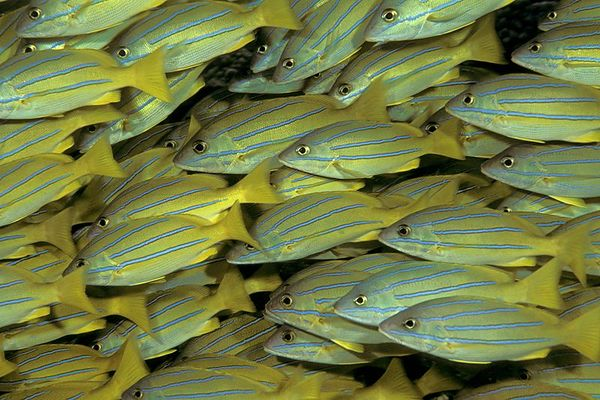 "school of bluestripe snapper or <br /> "" ta'ape "" (H),  Lutjanus kasmira, on patch reef<br /> Kona, Hawaii ( Central Pacific Ocean )<br /> 1"