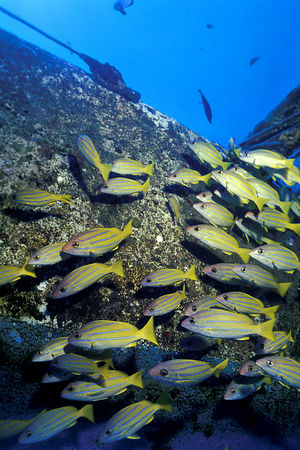 "school of bluestripe snapper or "" ta'ape "" (H), Lutjanus kasmira, on wreck of the Angita, better known as The Naked Lady, Kona, Hawaii ( Central Pacific Ocean )<br /> 1"