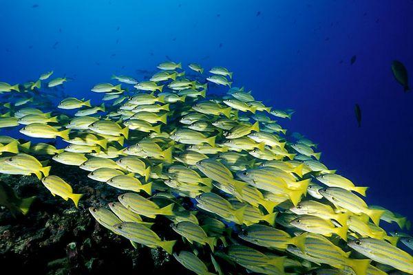 """school of bluestripe snapper or <br /> """" ta'ape """" (H),  Lutjanus kasmira, on patch reef<br /> Kona, Hawaii ( Central Pacific Ocean )<br /> 1"""