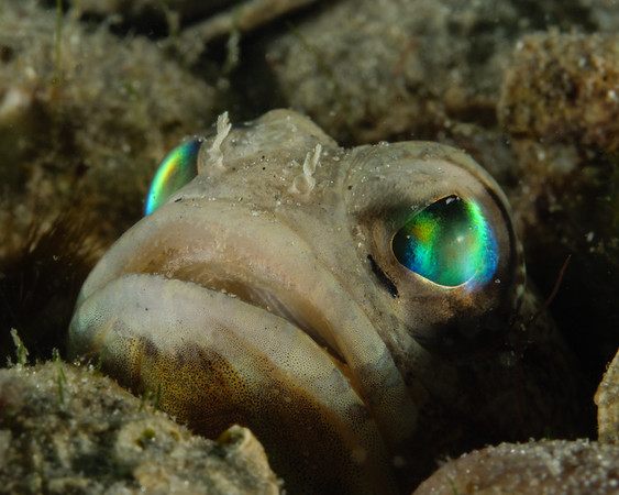 A jawfish peeks out from his hole in the Blue Heron Bridge, Florida. His mate was just three feet away.