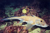 Spotted Ratfish, Mahk Reef Barkley Sound, 328