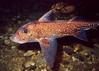 Spotted Ratfish, Three Tree Point North, 256