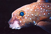 Spotted Ratfish, Titlow Beach, 494