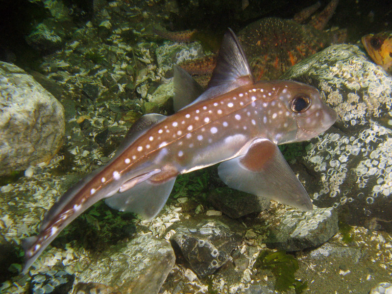 Spotted Ratfish, Saltwater State Park, 784