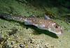 Rendezvous House Reef Barkley Sound, Spotted Ratfish, 720