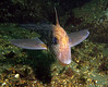 Spotted Ratfish, Alki Fishing Reef, 799