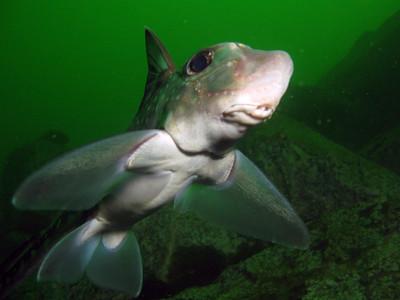 Spotted Ratfish