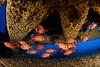 bigscale soldierfish, Myripristis berndti, take refuge beneath underwater structure, Big Island of Hawaii ( Central Pacific Ocean )