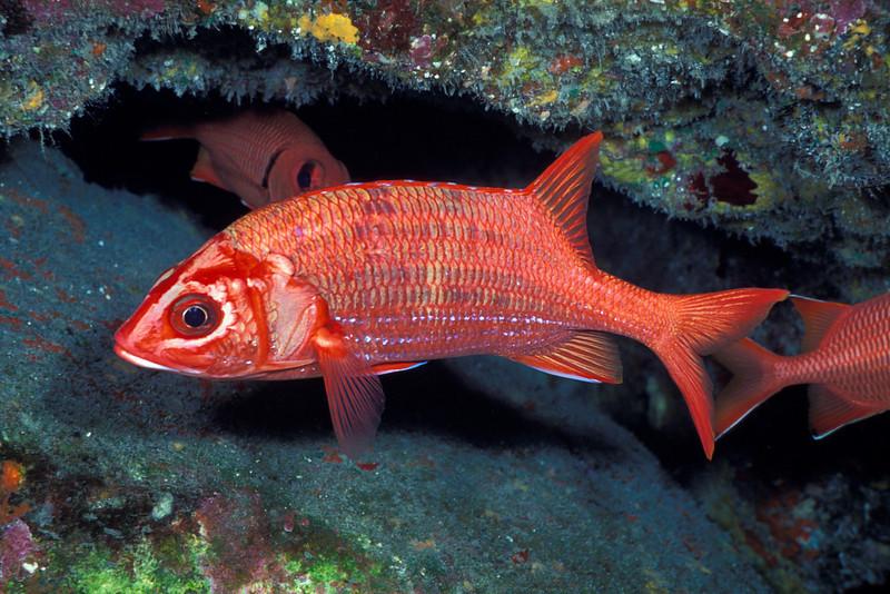 Tahitian squirrilfish or 'ala'ihi ( H ), Sargocentron tiere, Hawaii ( Central Pacific Ocean )