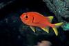 yellowfin soldierfish or 'u'u ( H ), Myripristis chryseres, Hawaii ( Central Pacific Ocean )