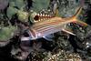 spotfin squirrilfish or 'ala'ihi ( H ), Neoniphon sammara, Hawaii ( Central Pacific Ocean )