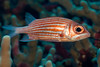 Hawaiian squirrilfish or 'ala'ihi ( H ), Sargocentron xantherythrum, Hawaii ( Central Pacific Ocean )