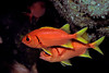 yellowfin soldierfish or 'u'u ( H ), Myripristis chryseres, Hawaii ( Central Pacific Ocean )