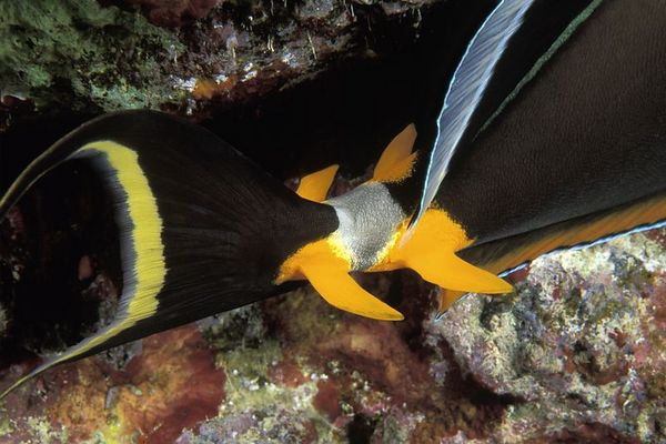 orangespine unicornfish or naso tang, <br /> Naso lituratus, detail of defensive spines on caudle peduncle, Big Island of Hawaii ( Central Pacific Ocean )<br /> 1
