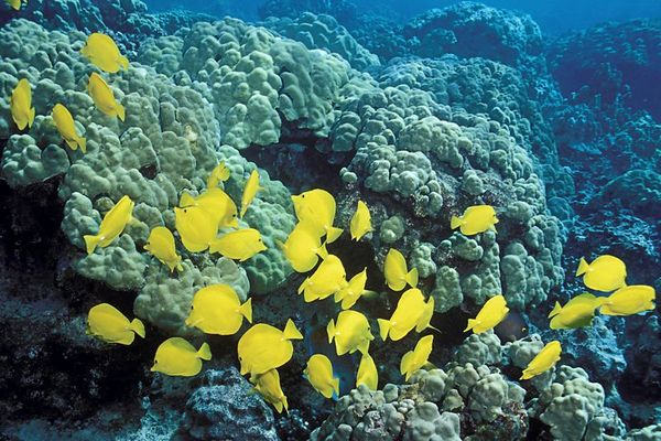 school of yellow tangs, Zebrasoma flavescens,occurs Hawaii to Japan but abundant only in Hawaii, Kona, Hawaii ( Central Pacific Ocean )<br /> 1