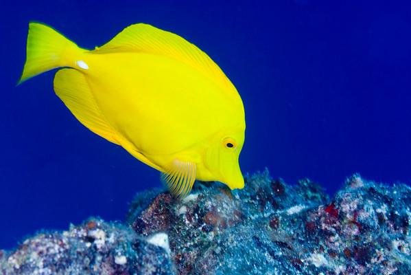 yellow tang or lau'ipala ( Hawaiian ), Zebrasoma flavescens, Big Island of Hawaii ( Central Pacific Ocean )