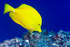 yellow tang or lau'ipala ( Hawaiian ), Zebrasoma flavescens, Big Island of Hawaii ( Central Pacific Ocean )