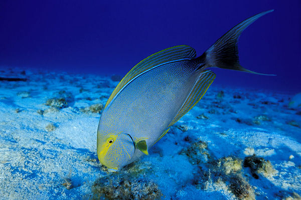 yellowfin surgeonfish or pualu (H), <br /> Acanthurus xanthopterus,  Big Island of Hawaii<br /> ( Central Pacific Ocean )<br /> 1
