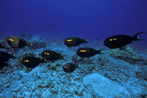 orangeband unicornfish or na'ena'e, (H)<br /> Acanthurus olivaceus, traveling in a school,<br /> Big Island of Hawaii ( Central Pacific Ocean )<br /> 1