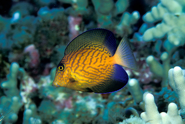 black surgeonfish or chevron tang, Ctenochaetus hawaiiensis, juvenile, Big Island of Hawaii ( Central Pacific Ocean )