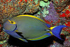 eyestripe surgeonfish or palani ( H ), Acanthurus dussumieri,  Big Island of Hawaii ( Central Pacific Ocean )