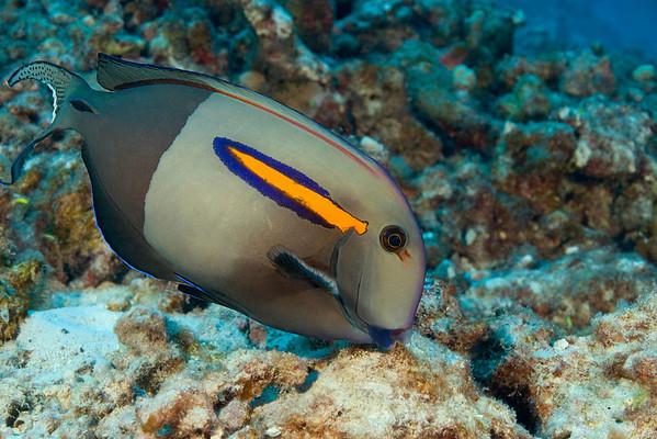orangeband unicornfish or na'ena'e, (H) Acanthurus olivaceus, Big Island of Hawaii ( Central Pacific Ocean )