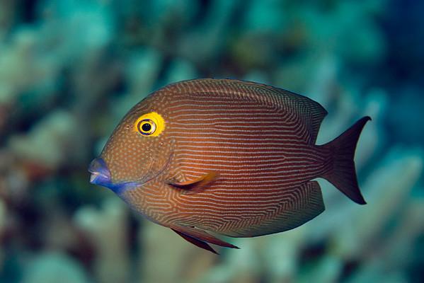 gold-ring surgeonfish or kole ( H ), Ctenochaetus strigosus, Big Island of Hawaii ( Central Pacific Ocean )