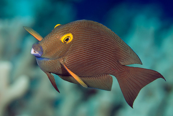 gold-ring surgeonfish or kole ( H ), Ctenochaetus strigosus, Big Island of Hawaii ( Central Pacific Ocean )