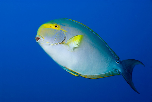yellowfin surgeonfish or pualu (H), Acanthurus xanthopterus,  Big Island of Hawaii ( Central Pacific Ocean )