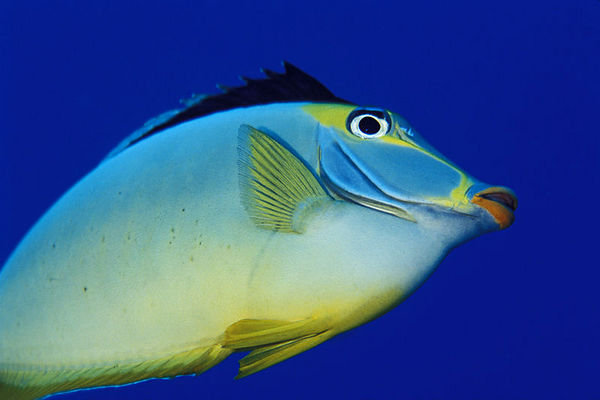 orangespine unicornfish or naso tang, <br /> Naso lituratus,  Big Island of Hawaii<br /> ( Central Pacific Ocean )<br /> 1