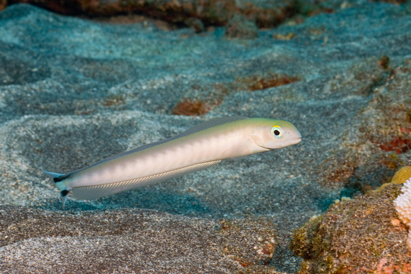 flagtail tilefish, Malacanthus brevirostris, hovers over its burrow, Kona, Hawaii ( Central Pacific Ocean )