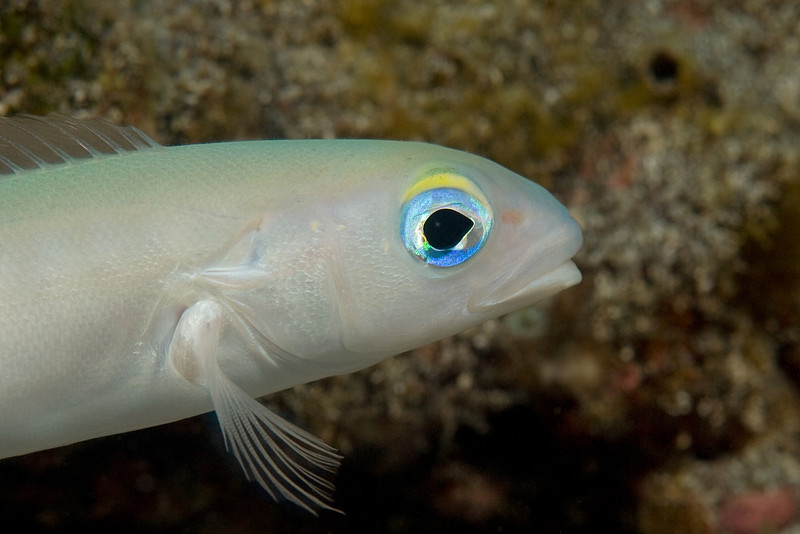 close-up of the shy blanquillo or flagtail tilefish, Malacanthus brevirostris, Kona Paradise, Hawaii ( Central Pacific Ocean )