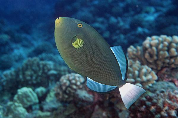 pinktail durgon triggerfish or <br /> 'humuhumu hi'ukole' (H), Melichthys vidua,<br /> Kona, Hawaii ( Central Pacific Ocean )<br /> 1