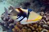 lagoon triggerfish or humuhumu nukunuku apua'a (H), Rhinecanthus aculeatus, Honaunau, Hawaii ( Central Pacific Ocean )