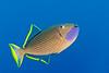 male gilded triggerfish, Xanthichthys auromarginatus, Kona, Hawaii ( Central Pacific Ocean )