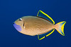male gilded triggerfish, Xanthichthys auromarginatus, Kona, Hawaii ( Central Pacific Ocean )