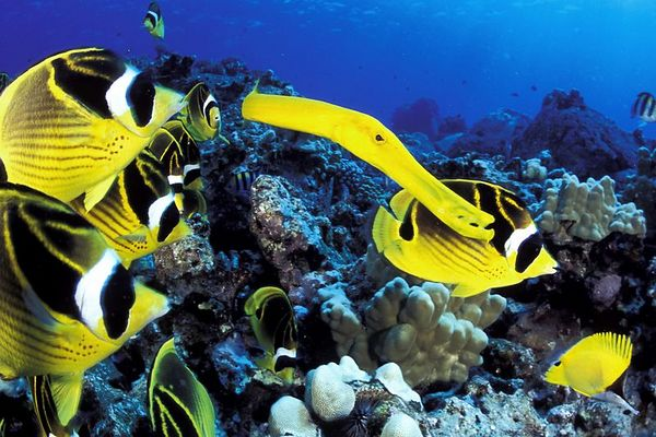 """school of raccoon butterflyfish or """" kikakapu """" (H),  Chaetodon lunula, swarm around reef while a trumpetfish, Aulostomus chinensis, that has adopted the butterflyfish coloration, hides in the pack camouflaged and hoping to surprise its prey, a wolf in sheeps clothing, """" Eel Cove """" Kona, Hawaii ( Central Pacific Ocean )<br /> 1"""